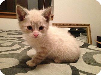 Siamese Kitten for adoption in River Falls, Wisconsin - Rafiki