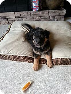 Shepherd (Unknown Type)/Retriever (Unknown Type) Mix Puppy for adoption in Chilliwack, British Columbia - DAMIAN