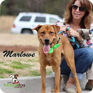 Shepherd (Unknown Type)/Labrador Retriever Mix Puppy for adoption in Alpharetta, Georgia - Marlowe