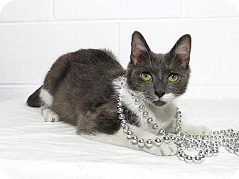 Domestic Shorthair Cat for adoption in Lufkin, Texas - Josie