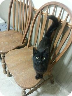 Domestic Shorthair Cat for adoption in Madison, Wisconsin - Twist