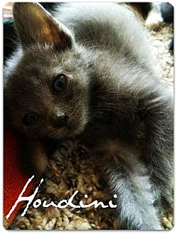Russian Blue Kitten for adoption in McKinney, Texas - Houdini