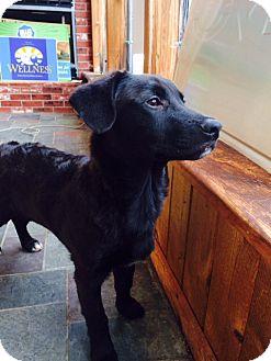 Labrador Retriever Mix Puppy for adoption in Pompton Lakes, New Jersey - Captain America