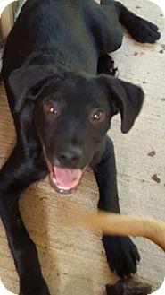 Labrador Retriever Mix Puppy for adoption in Glastonbury, Connecticut - Deuce