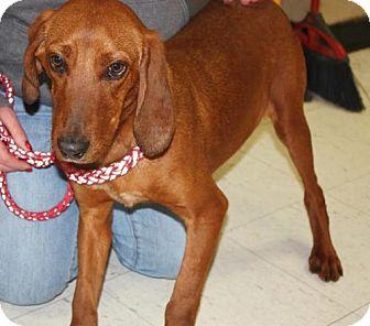 Redbone Coonhound Dog for adoption in Cottageville, West Virginia - Dan