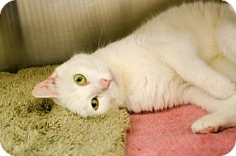 Domestic Shorthair Cat for adoption in Peace Dale, Rhode Island - Rascal
