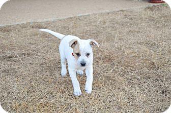 Blue Heeler Mix Puppy for adoption in Hamburg, Pennsylvania - KC