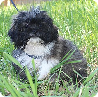 Shih Tzu/Terrier (Unknown Type, Small) Mix Puppy for adoption in Monroeville, Pennsylvania - LARK