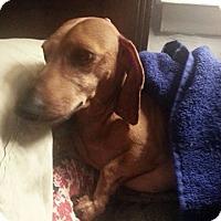 Adopt A Pet :: Lou - Georgetown, KY