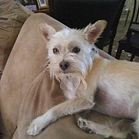 Yorkie, Yorkshire Terrier/Cairn Terrier Mix Dog for adoption in Goodyear, Arizona - Joey