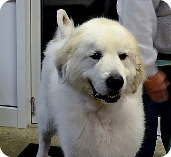Great Pyrenees Dog for adoption in Indiana, Pennsylvania - BEAR