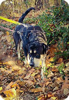 Catahoula Leopard Dog Mix Dog for adoption in Warren, Maine - Rollo - MA