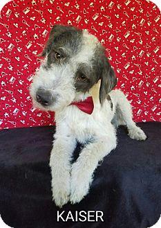 Wirehaired Fox Terrier/Schnauzer (Miniature) Mix Dog for adoption in Pluckemin, New Jersey - Kaiser