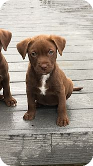 Labrador Retriever Mix Puppy for adoption in Hammonton, New Jersey - Baby