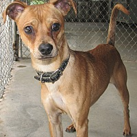 Adopt A Pet :: Dobby - Ruidoso, NM