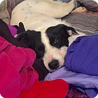 Adopt A Pet :: Andy - Sherman, CT