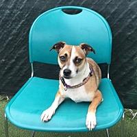 Adopt A Pet :: Isabelle - Vista, CA