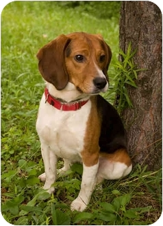 Beagle Dog for adoption in Westfield, New York - Fonzie
