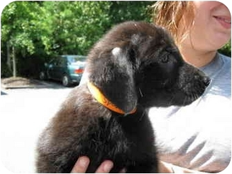 Labrador Retriever/Golden Retriever Mix Puppy for adoption in Cumming, Georgia - Peyton