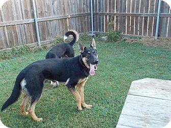 German Shepherd Dog Dog for adoption in Houston, Texas - Jackson