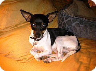 Rat Terrier/Toy Fox Terrier Mix Dog for adoption in Baytown, Texas - Izzy