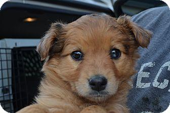 Australian Shepherd/Golden Retriever Mix Puppy for adoption in Westminster, Colorado - Lolli