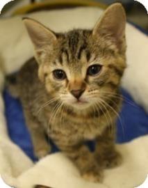 Domestic Shorthair Kitten for adoption in West Des Moines, Iowa - Katchen