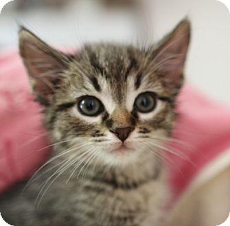 Domestic Shorthair Kitten for adoption in Winston-Salem, North Carolina - Eddie