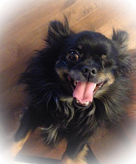 Chihuahua Mix Dog for adoption in Barriere, British Columbia - Perro