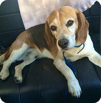 Beagle Dog for adoption in Studio City, California - BIGGLES