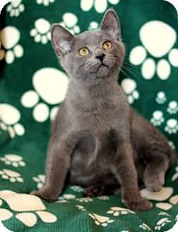 Russian Blue Kitten for adoption in Colorado Springs, Colorado - K-Indy3-Izzy