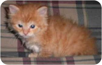 Persian Kitten for adoption in Pembroke Pines, Florida - Garfield