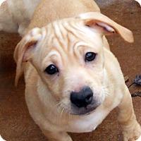 Adopt A Pet :: Baby Ramiro - Oakley, CA