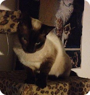 Siamese Cat for adoption in Santa Rosa, California - Oliver