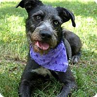 Adopt A Pet :: Chica - Mocksville, NC