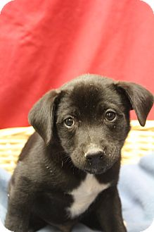 Labrador Retriever Mix Puppy for adoption in Waldorf, Maryland - Ryan