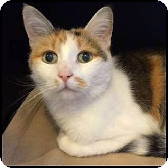 Calico Cat for adoption in Colorado Springs, Colorado - Rosie