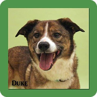 Shepherd (Unknown Type) Mix Dog for adoption in Aiken, South Carolina - Duke