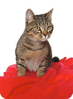 Domestic Shorthair Cat for adoption in Gloucester, Virginia - SUSHI