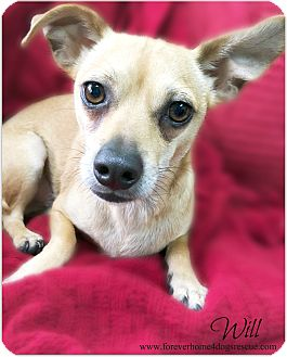 Dachshund/Chihuahua Mix Dog for adoption in Pascagoula, Mississippi - Will