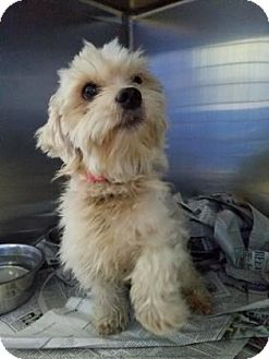 Maltese Mix Dog for adoption in Miami, Florida - Dennis