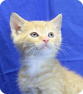 Domestic Shorthair Kitten for adoption in Winston-Salem, North Carolina - Sanders