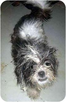 Maltese Mix Dog for adoption in Albany, Georgia - Prince
