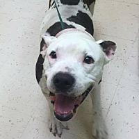 American Bulldog Mix Dog for adoption in Pompano beach, Florida - Mookie