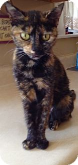 Domestic Shorthair Cat for adoption in Covington, Kentucky - Reba