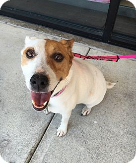 Jack Russell Terrier Mix Dog for adoption in Van Alstyne, Texas - Daisy