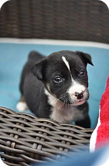Australian Shepherd/Husky Mix Puppy for adoption in Gorham, Maine - Vincent