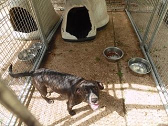 Pit Bull Terrier Mix Dog for adoption in Clarksville, Arkansas - May