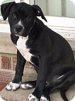 Labrador Retriever/Terrier (Unknown Type, Medium) Mix Puppy for adoption in Detroit, Michigan - Celina-Adopted!