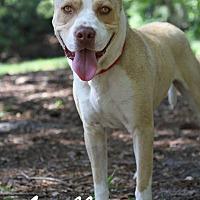Adopt A Pet :: Apollo - Jacksonville, FL